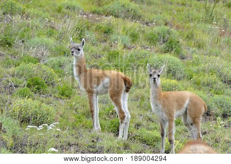 Two young guanacos standing togheter in the patagonia