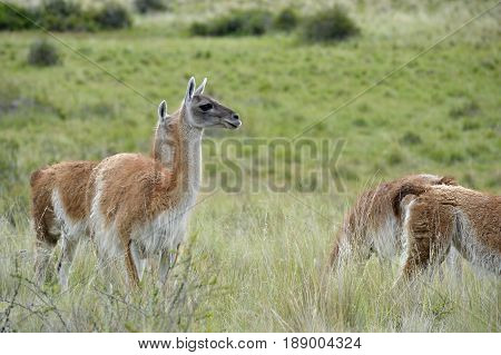 Heard of guanacos in the patagonia fields