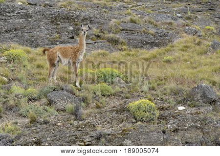 A Guanaco standing in rocky Patagonia fields