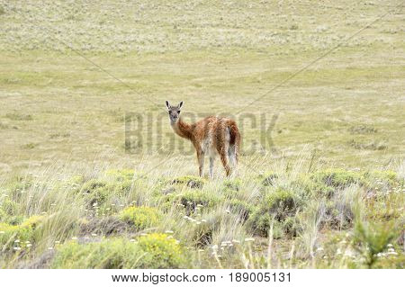 One Guanaco looking back in patagonia fields