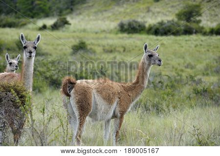 Three Guanacos standing in the Patagonia fields