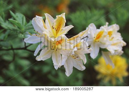 Branch of yellow azalea during flowering period. Rodendron after rain