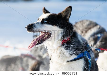 Siberian Husky Sled Dog In Yukon Quest