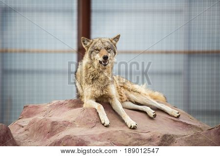 Gray Wolf Lying On The Rock