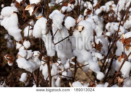 Ripe Cotton Plant Agricultural Field Nc Usa