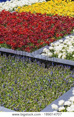 Lots of Colorful Dutch Tilips Placed in split Areas in Garden. Keukenhof National Park. Vertical Shot
