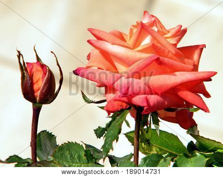 Rose bud and flower in Or Yehuda Israel January 29 2011