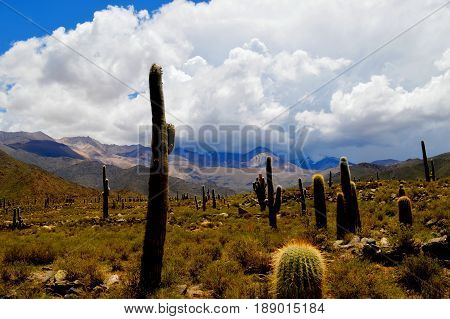 Beautiful cactus, guardians of the Argentine puna and of the Andes. Nevado de Cachi, Salta, Argentina