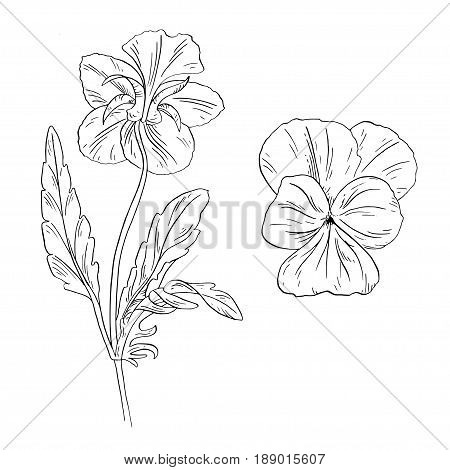 Pansy flower ink sketch on white background. Vector illustration for your design