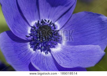 Closeup Macro Shot of Blue Anemone Located in National Dutch Keukenhof Garden in Netherlands.Horizontal Image Composition