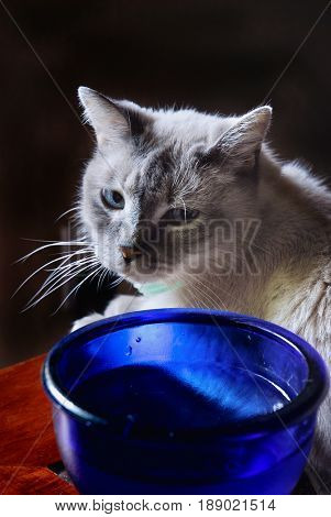 Siamese cat looking at his water bowl with a drop of water on his chin