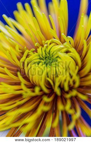 Closeup of Zantedeschia of Sort Captain Ventura in National Flowers Park Keukenhof in Netherlands. Vertical Shot