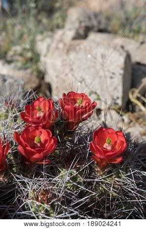 Four Claret Cup Cactus wedged in Desert Rocks bloom in spring