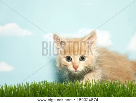 Portrait of one orange and white kitten crouched ready to pounce over green grass looking directly at viewer blue background sky with clouds.