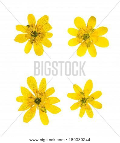 Pressed and dried yellow ficaria verna flowers isolated on white background. For use in scrapbooking pressed floristry (oshibana) or herbarium.