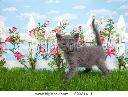 Fluffy gray kitten standing sideways in grass looking at viewer. White picket fence with pink and red roses with white flowers blue background sky with clouds.