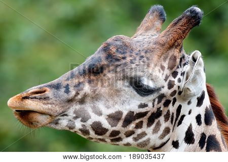 Giraffe tallest living terrestrial animals on green summer background