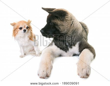 puppy american akita and chihuahua in front of white background