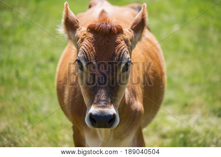 Front profile of a jersey cow in a field
