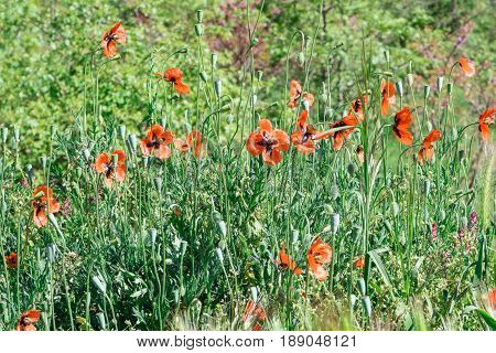 Wild red poppies flowers on a green blurred background. Spring in the Crimea. Foothills of Ai-Petri