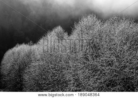 Frost on trees in the Skagit Valley WA