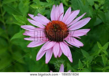 Pretty purple echinacea flower blossom flowering in summer.