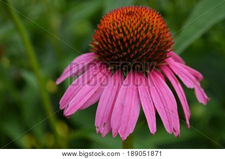 Blooming and flowering purple coneflower in a garden.