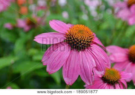 Collection of blooming purple coneflowers in a garden.