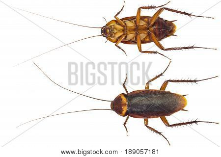 Close up of dead cockroaches isolate on white background with clipping path