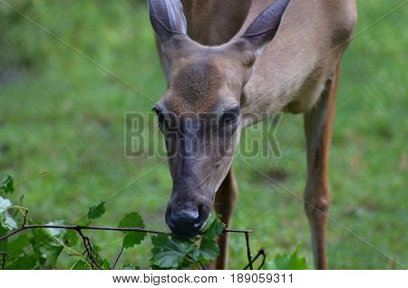 Deer nibbling on some lush green leaves.
