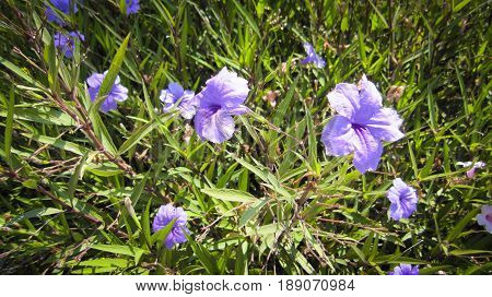 Ruellia simplex purple is a bush with green leaves as a background.