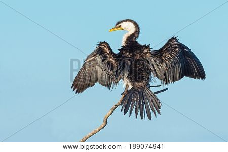 The Little Pied Cormorant, Little Shag or Kawaupaka (Microcarbo melanoleucos) is a common Australasian waterbird found around the coasts, islands, estuaries and inland waters of Australia (where this example was Photographed) and elsewhere.