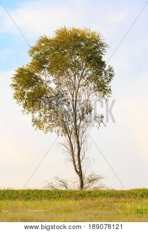 The tall tree in a spring meadow