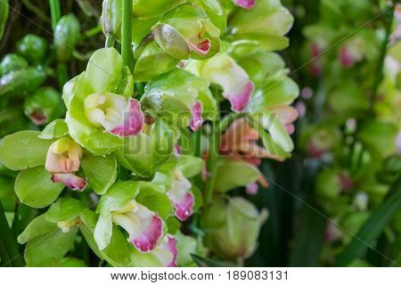 Green Cymbidium Orchid flower with blur background