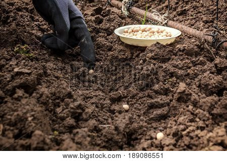 Hand of the gardener sows peas in the ground. Work in the garden
