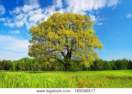 Summer landscape large branchy tree with colorful leaves on a green meadow on a bright sunny afternoon. Greenery, a blue sky with clouds, bright colorful colors.