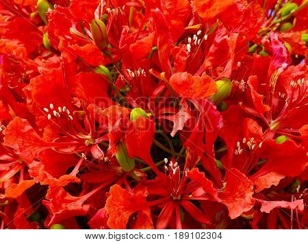 Flamboyant tree flowers (Royal Poinciana,Delonix regia,Flame tree) as a background.Selective focus.Floral background.