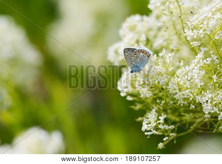 Beautiful small Blue butterfly, Polyommatus icarus, on a wild meadow. Summer season background