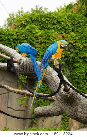 Photo of a pair of parrots blue and yellow on a tree trunk