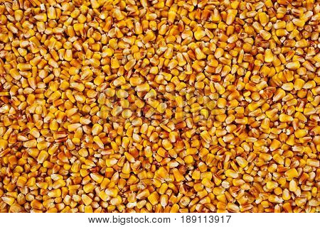 Maize grains texture harvested corn seed as background