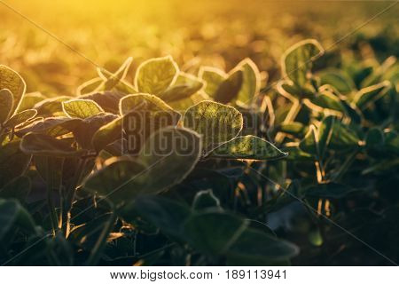 Cultivated organic soybean field in sunset selective focus