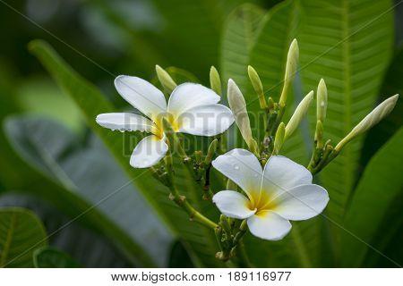Branch of tropical flowers frangipani (plumeria) of thailand