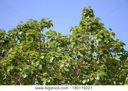 green ficus religiosa leaves in nature garden