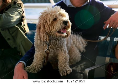Cute maltese dog sitting on his owner's lap during the boat ride, soaking in the sun
