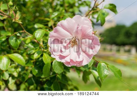 View on a beautiful Pink Rose in Sunlight. Close-up of blooming Roses. Growing Roses (disambiguation). Garden Flowers.