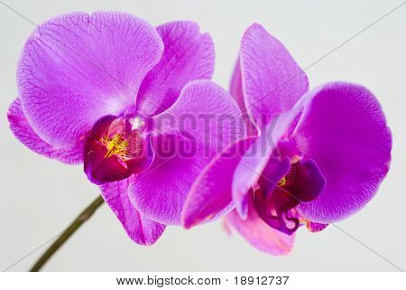 lila Orchidee isolated on white background