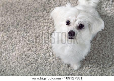 White Maltese Dog Sitting On Carpet And Looking Upward