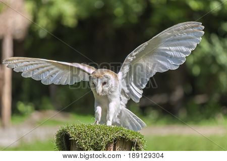 Common barn owl Tyto alba with open wings