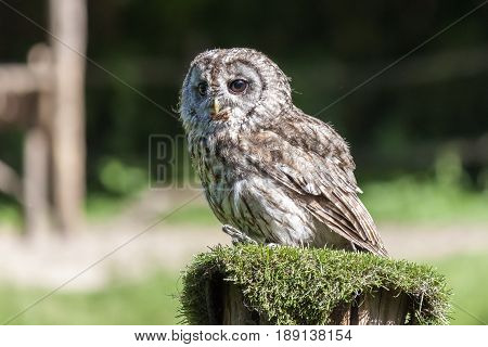 A little owl (Athene noctua) with a prey in her mouth