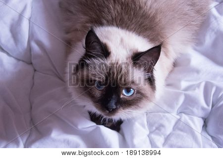 Cat Siamese Siberian color point fluffy lying on a white blanket